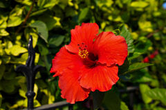 Hibiscus flower. Beautiful tropical red Hibiscus flower royalty free stock photo