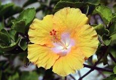 Hibiscus flower. Royalty Free Stock Photos