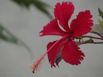Hibiscus flower stock photo