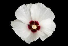 Hibiscus flower on black Royalty Free Stock Photo