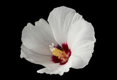 Hibiscus flower on black Royalty Free Stock Images