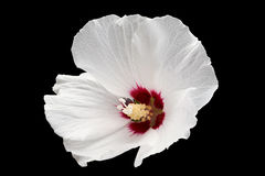 Hibiscus flower on black Royalty Free Stock Photos