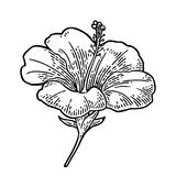 Hibiscus flower. black engraving vintage illustration on white background royalty free illustration