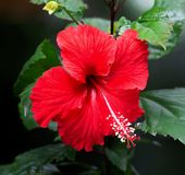 Hibiscus flower in bloom close - u p view. The hibiscus flower, while native to Asia and the Pacific Islands, is grown all over the world and comes in over 200 royalty free stock images