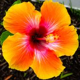 Hibiscus flower in bloom South Florida pedal stock photo