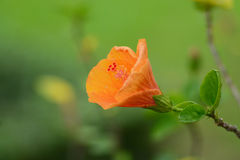 Hibiscus flower blooming in garden. Royalty Free Stock Photography