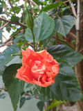 Hibiscus flower blooming salmon with leaf background Royalty Free Stock Photos