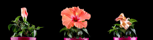 Hibiscus flower blooming stages time lapse. Flower life time stages concept to human life periods Royalty Free Stock Photos