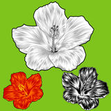Hibiscus flower blossom variations Royalty Free Stock Photos