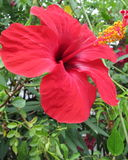 Hibiscus flower. In blossom which is standing in flowerbed Stock Images