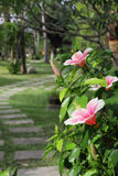 Hibiscus flower blossoming in a tropical park royalty free stock photos