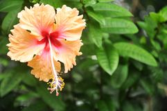 Hibiscus flower blossoms in the park Royalty Free Stock Image