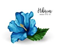 Vector realistic hibiscus flower leaves blue. Hibiscus flower. Blue blooming blossom with green leaves. Realistic detailed hand drawn exotic floral decoration