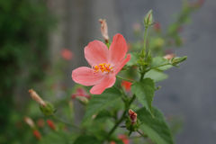 Hibiscus Flower with blurred Royalty Free Stock Photo