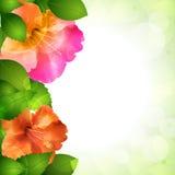 Hibiscus flower border Stock Images