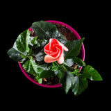 Hibiscus flower with bud in the flower pot top view Royalty Free Stock Images