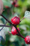 Hibiscus Flower Buds Stock Photos