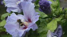 Hibiscus flower and bumble  bee stock video
