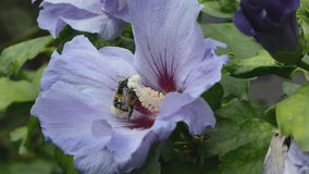 Hibiscus flower and bumble  bee Stock Photography