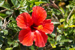 Hibiscus flower on the bush Royalty Free Stock Photos
