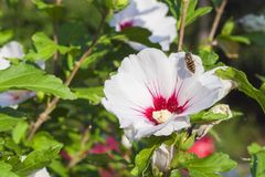 Hibiscus flower bushes in the light of the morning sun, blurred background. A summer day on the home garden. Royalty Free Stock Photos