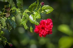 Hibiscus. Flower in Centara hotel, Krabi province, Thailand Stock Photos