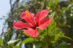 Hibiscus flower. Close up. Hibiscus flower on the branch. Close up Stock Images