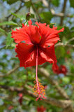 Hibiscus flower. Close up. Hibiscus flower on the branch. Close up Royalty Free Stock Photo