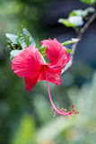Hibiscus flower close up Royalty Free Stock Photos