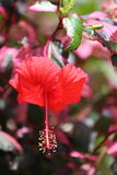 Hibiscus Flower. A close up view of a hibiscus flower in full bloom Royalty Free Stock Photos