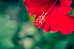 Hibiscus. The hibiscus flower close up. (Vintage filtered Stock Photography