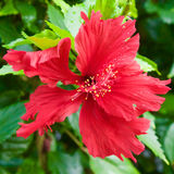 Hibiscus Flower. A closeup of a Hibiscus Flower Stock Photos