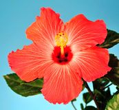 Hibiscus Flower Closeup Royalty Free Stock Photos