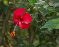 Hibiscus Flower, Costa Rica Biodiversity. Manuel Antonio National Park royalty free stock image