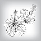 Hibiscus flower drawing Stock Photography