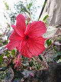The hibiscus flower stock photo