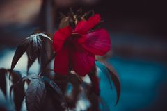 Hibiscus flower in the evening. stock photography