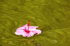 Hibiscus Flower Floating on Algae Infested Water Background Royalty Free Stock Photos