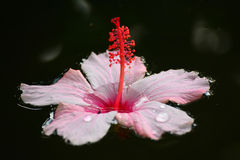 Hibiscus  flower  floating on water Royalty Free Stock Images