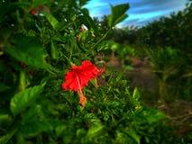 Flower, Hibiscus, Nature, Sumatera, Indonesia stock image