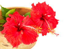 Hibiscus Flower In Flower Pot II Stock Images