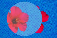 Hibiscus flower in fresh water. Red hibiscus flower in cool water of blue pool abstract summer background Stock Photography