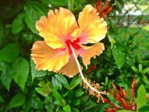 Hibiscus flower in full bloom Royalty Free Stock Images