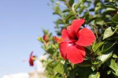 Hibiscus flower in garden Royalty Free Stock Photos