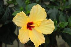 Hibiscus flower in the garden. An hibiscus flower in the garden Stock Image