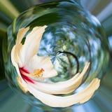 Hibiscus flower in garden Royalty Free Stock Image
