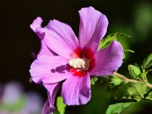 Hibiscus flower in garden Stock Photos