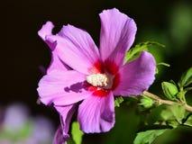 Hibiscus flower in garden Stock Photos