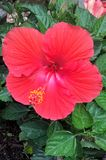 Hibiscus Flower. Hibiscus is a genus of flowering plants in the mallow family. The genus includes both annual and perennial plants as well as woody shrubs and Stock Photo