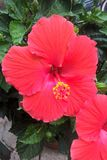 Hibiscus Flower. Hibiscus is a genus of flowering plants in the mallow family. The genus includes both annual and perennial plants as well as woody shrubs and Stock Image